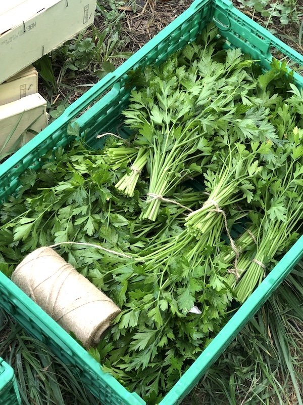 bunches of parsley from the garden