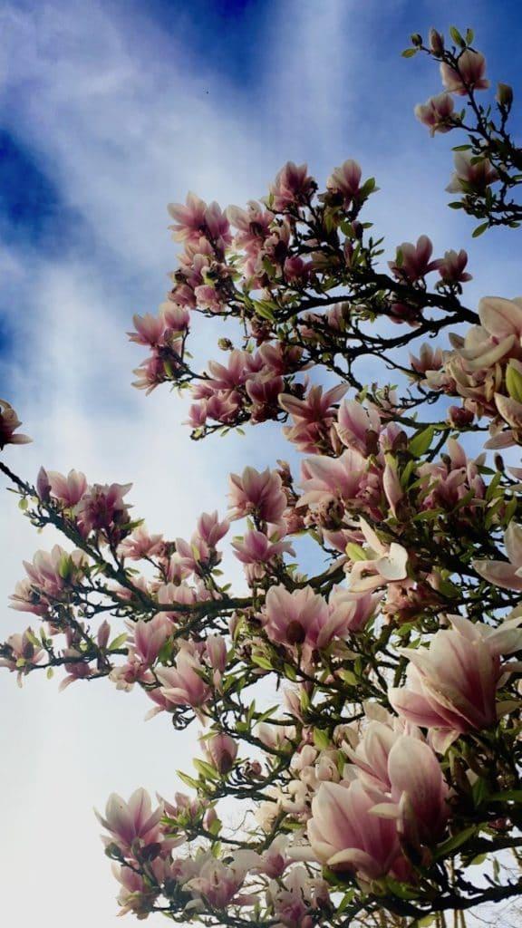 magnolia in flower