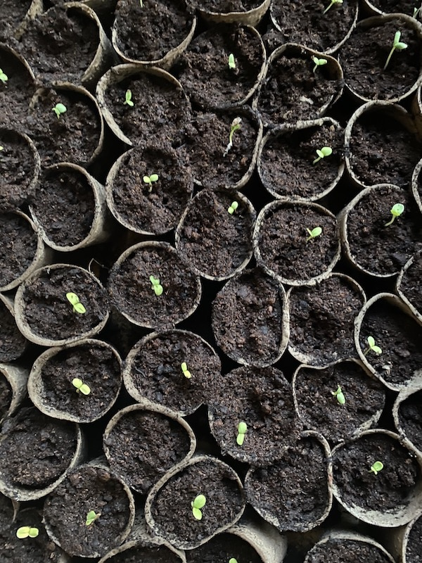 seedlings growing in pots