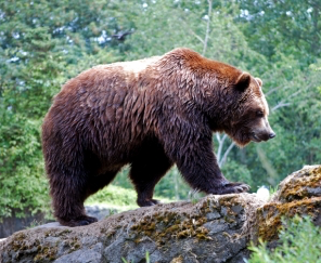 ESA Protections Over Yellowstone Grizzly Bears
