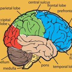 Brain Diagram Inside Simple Boat Wiring Your Trading Expert Or Novice Sharpbrains