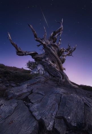 A meteor striking the sky above an ancient bristle-cone tree.