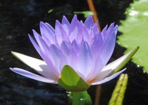 The flowering water lily, called the lotus, symbolizes absolute truth and purity.