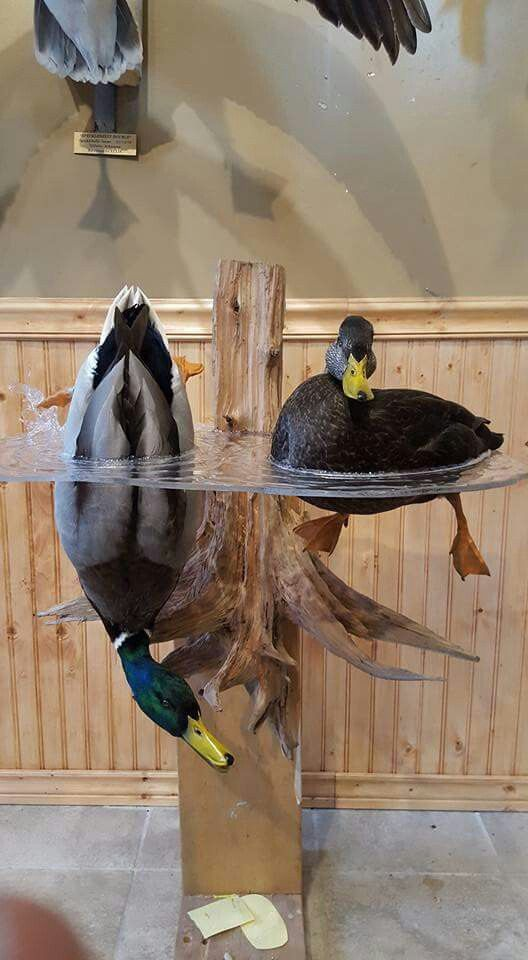 Best Pin By Stacy Cashio On Hunting Bird Taxidermy Taxidermy This Month
