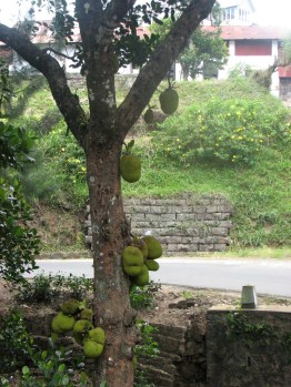 Jak fruit. These huge fruit can grow up to 4 feet both in length and girth. The jackfruit has so many uses that someone has honestly dedicated an entire blog to popularizing the fruit. Check it out @ http://panasamwonders.blogspot.com/2010_06_01_archive.html