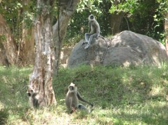 The temple's only inhabitants were these monkeys, who were keeping an eye on the white man.