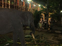 Of course, what would a festival in Sri Lanka be without a random elephant.