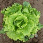 lettuce_romaine