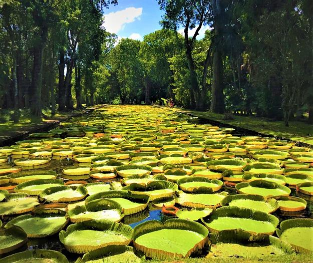 Giant water lilies of Pamplemousses, Mauritius