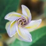 Moonflower, Nikon D300 w/Nikkor 105mm AF-D, ISO 200, 1/80 sec @ f/8