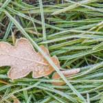 Scrub Oak Leaf and Grass with Hoarfrost, Colorado 2013