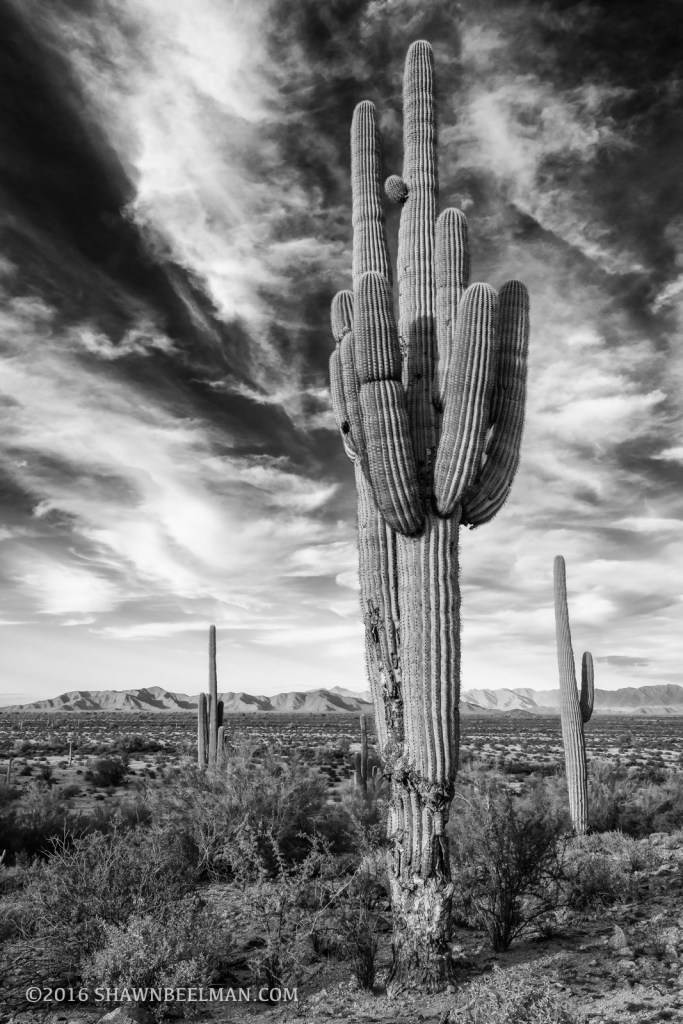 Black and White Saguaro, Sonoran Desert National Monument, Feb 2016