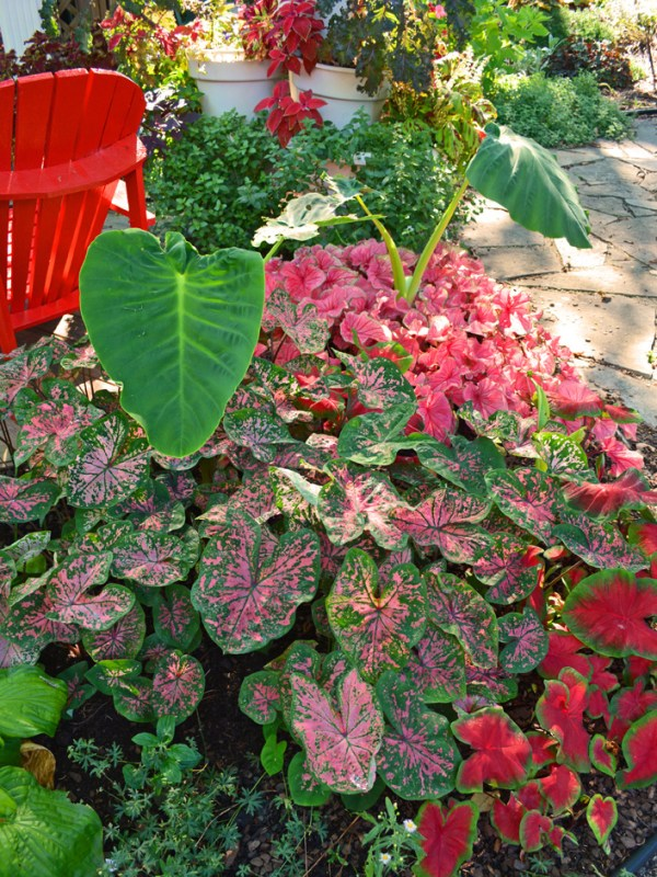 middle of garden season caladium