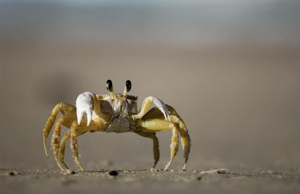 Fiddler Crab Pet