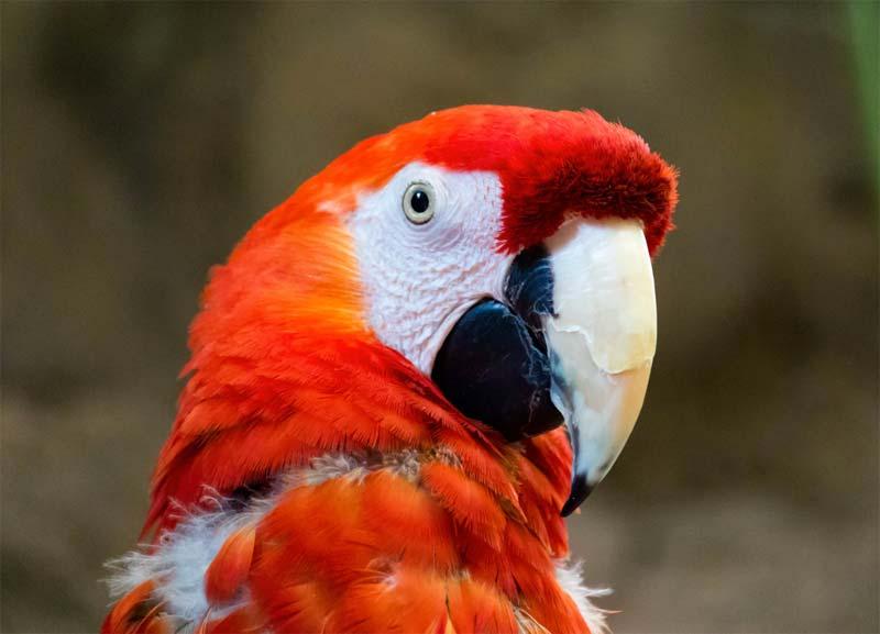 Scarlet Macaw Photo