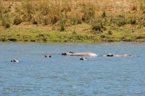 Hippos in front of camp