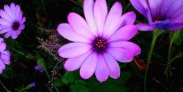 purple-daisy-2.jpg