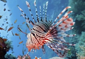 the lion fish in his natural environment the sea...