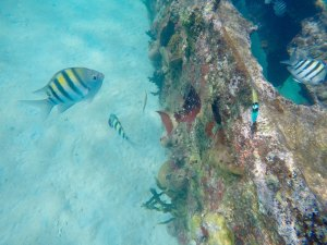 a female Stoplight Parrotfish just turns away, to its right a Bluehead and a few Seargeant Majors
