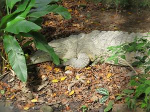 our first croc in Panama, we are happy to meet him in the zoo...