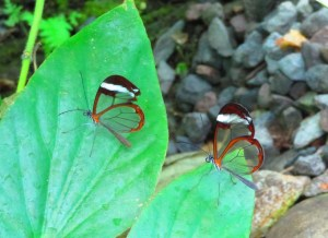 two transparant glass winged butterflies