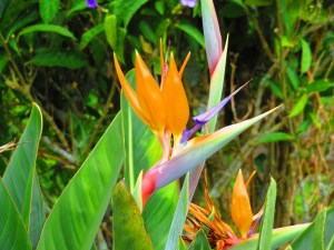 some beautiful Bird of Paradise flowers