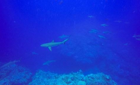Minerva diving grey reef sharks