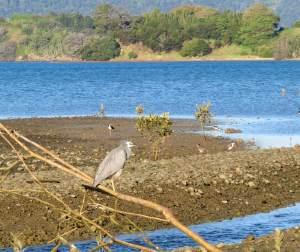 Motukiore walk middle of mangroves