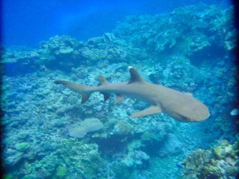 white tip reef shark