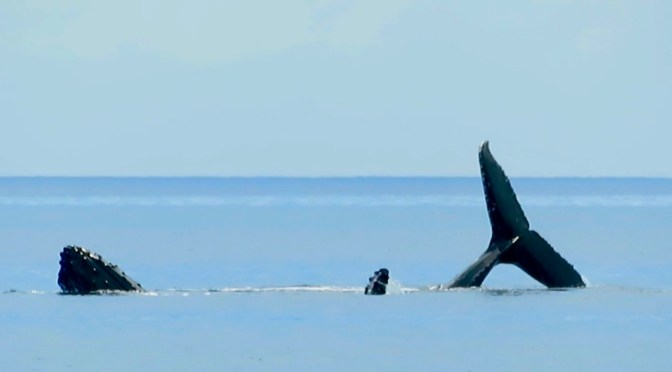 From Fulaga to Musket Cove – About Whales, Sharks, Mantas and a huge Mahi Mahi
