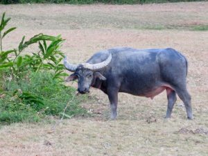 Water buffalo in TWNC