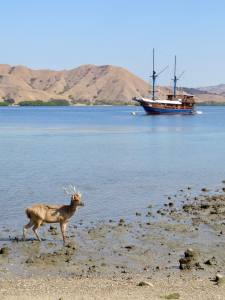 Deer in Bay of Gili Lawa Darat