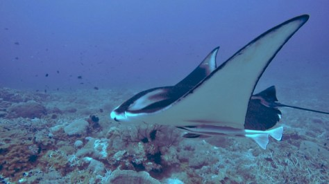 Manta Ray on our dive in Gili Banta
