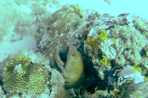 Huge moray eal in Komodo
