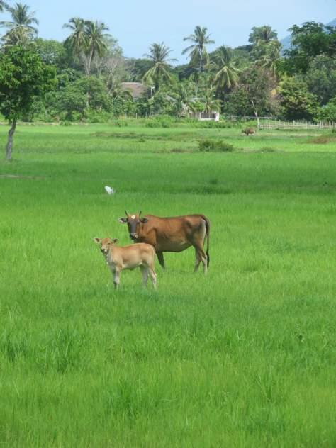 Kühe grasen in den Reisfeldern von Matsirat - ist das effizient, frage ich mich?