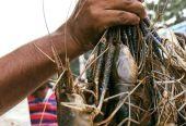 ফ্রেশ চিংড়ি মাছ ক্রয় করুন – FishBangla