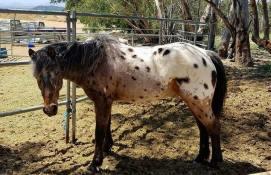 Skittles The Pony