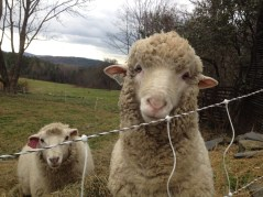 This is Earl Scruggs, our handsome ram from Ruppert's Corriedales in Fairfield, PA. He has 19 micron wool with 99% comfort factor.