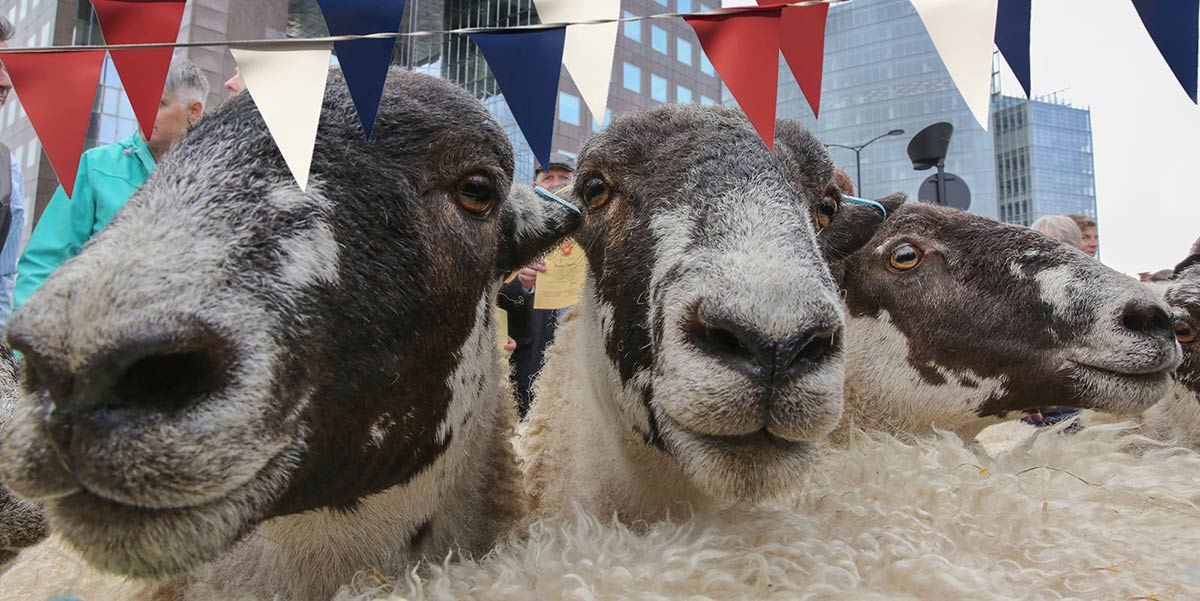 City Sheep Drive