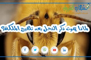 ا يموت ذكر النحل بعد تلقيح الملكة