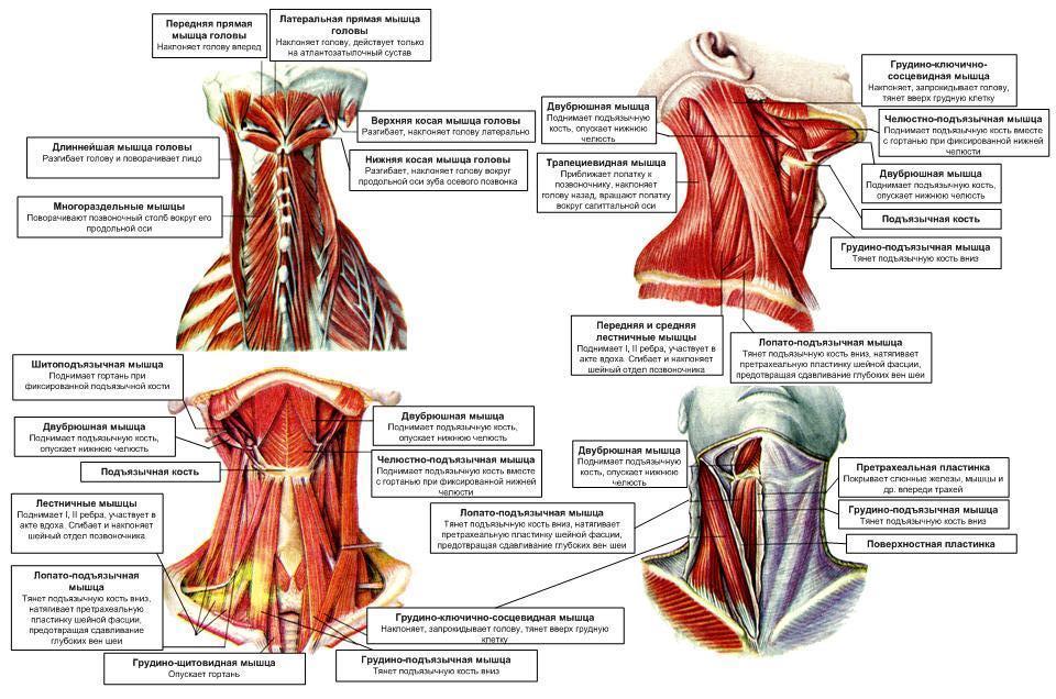 строение шеи человека фото с описанием спереди здравнице проводится квалифицированными