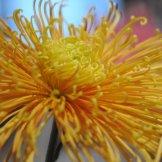 Chrysanthemum-011