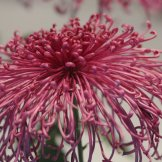 Chrysanthemum-016