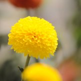 Chrysanthemum-024