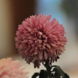 Chrysanthemum-026