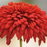 Chrysanthemum-035