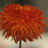 Chrysanthemum-037