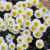 Chrysanthemum-055