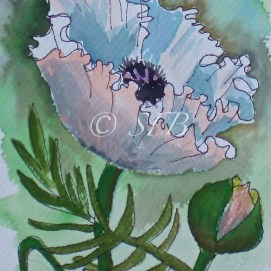 "White Poppy, watercolor + ink, 5"" x 7"""