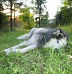 photo of my sled dog lying in the grass